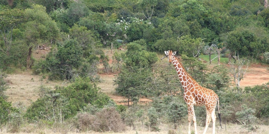 Giraffe near Solio Lodge