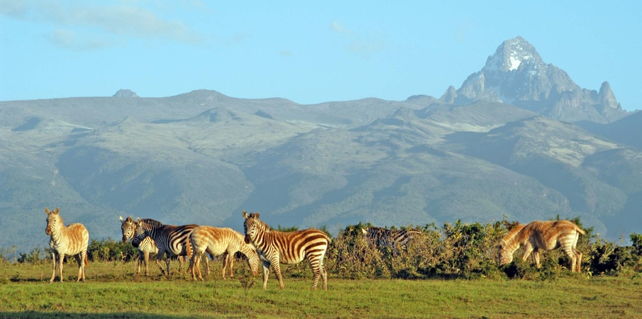 Zebras near Mt.Kenya